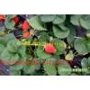 草莓苗,【草莓苗哪里价格最便宜】哪里能到优质草莓苗