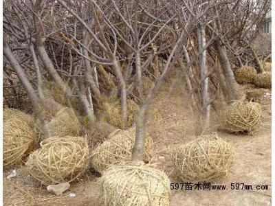 果树苗出售 有要樱桃树的朋友请到泰安泽雨苗圃 樱桃树最好