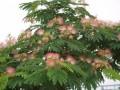 扬州合欢树