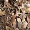 紅翅槭種子供應//紅翅槭種子批發