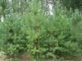 樟子松工程大樹