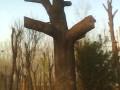 山西皂角树