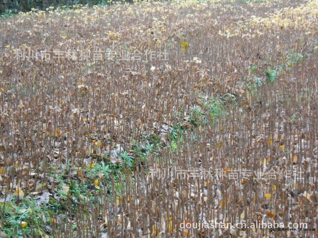 银杏树苗必须等树叶全部
