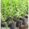 泰安優質石榴苗價格