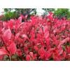 红叶石楠小苗,红叶石楠球,高杆红叶石楠,湖南红叶石楠价格