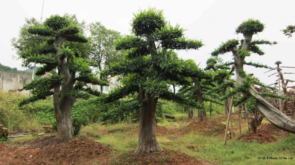 造型榆树图片|苗木|苗木图库|597苗木网