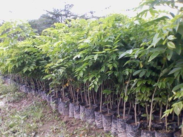 白花梨树高清图片欣赏