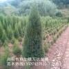湖南塔柏基地批发高50cm-1米-2米的塔柏苗木,塔柏价格