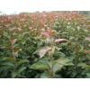 供应米径1-5厘米王族海棠、绚丽海棠(开心果)成苗