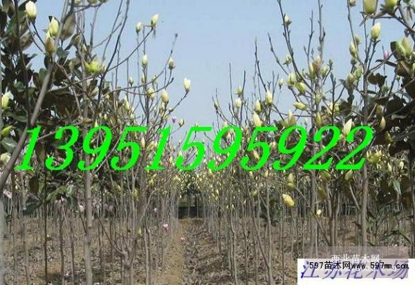 小叶朴树种子价格 苗木种子 苗木 苗木报价 597苗木网