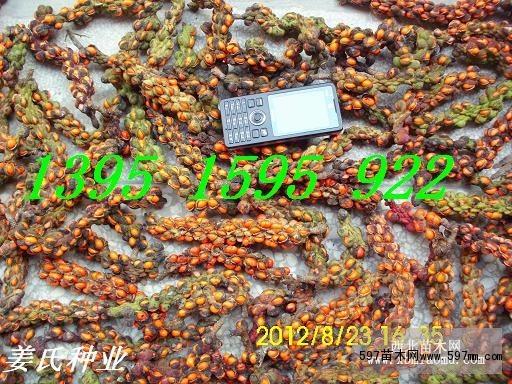 新采朴树种子价格 苗木种子 苗木 苗木报价 597苗木网