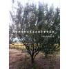 安徽山東重慶梅李、山杏、構樹、臭椿、柿樹、白榆、法桐供應