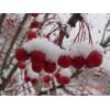 供应长寿果东红海棠盆景