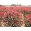 红叶石楠价格  独杆红叶石楠   红叶石楠球