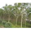 红叶椿  千头椿   椿树价格  红叶椿基地