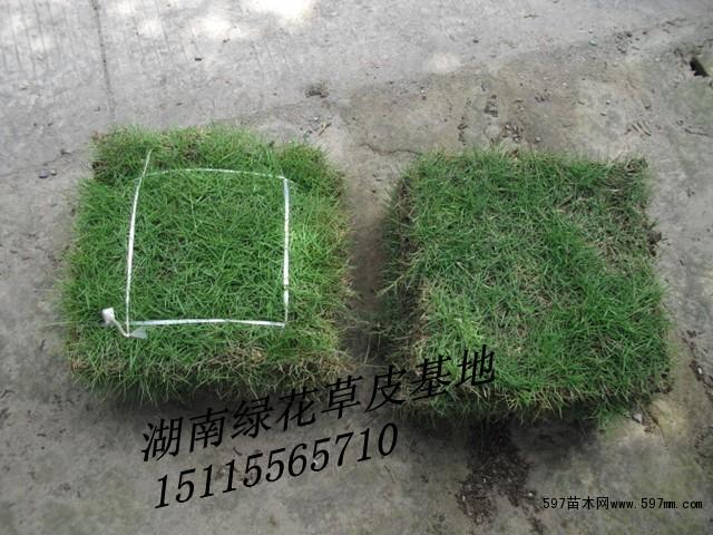马尼拉草皮价格资讯网高清图片