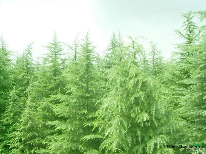 中国597苗木网_水仙的养殖方法花卉养殖花卉597苗木网
