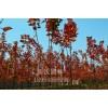 美国红枫—秋火焰扦插苗、一年苗、两年苗上市了!