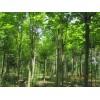 15-16-17-18大法桐,馬褂木,香樟,黃連木,樸樹