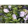 湖南大叶栀子花,大叶栀子价格,海栀子价格,小叶栀子价格