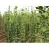 1米1.2米1.5米1.8米2米3米北海道黄杨树价格