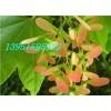 三角枫种籽价格五角枫种子哪里有鸡爪槭红枫青枫种子多少钱一斤