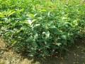 丽川桂花树