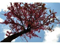 重庆/重庆樱花苗丨重庆樱花小苗丨重庆樱花苗木丨重庆樱花树苗丨