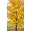银杏树1--80公分
