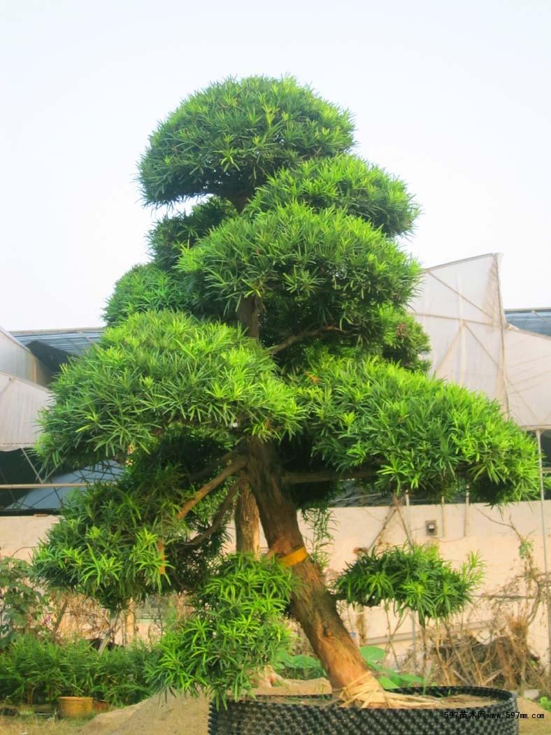 盆景 盆栽 树 松 松树 植物 788_1051 竖版 竖屏