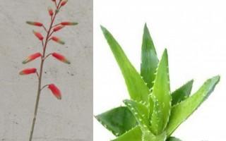 開花的蘆薈你見過么