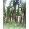 国槐树哪里有栽植基地,供应8公分-80公分国槐树