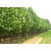 法桐樹苗 哪里有法桐樹苗 2米法桐苗