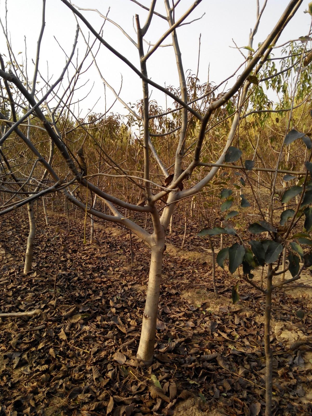 樱桃树,核桃树,柿子树图片|苗木|苗木图库|597苗木网