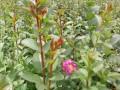 紫薇树(湖北)价格