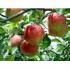 河南哪里有矮化苹果树苗、占地苹果树、新乡苹果树价格