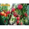 满园红油桃价格