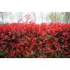 1米红叶石楠价格,2米红叶石楠价格,3米红叶石楠价格