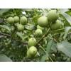 供应香玲核桃接穗种条|香玲核桃接穗价格|香玲核桃接穗采穗园
