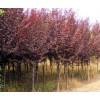紫叶李接穗种条|紫叶李接穗价格|供应紫叶李接穗|采穗园