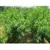 高收益、低风险果树苗品种
