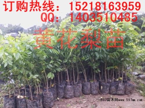 供应正宗黄花梨苗 海南黄花梨树苗|乔灌木|绿化苗木