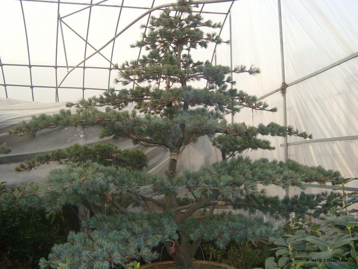 ... 山红百年老桩盆景 野生老桩榆树盆景 杂木 盆景图片