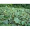 猕猴桃苗价格产地 山东猕猴桃苗 1公分猕猴桃苗