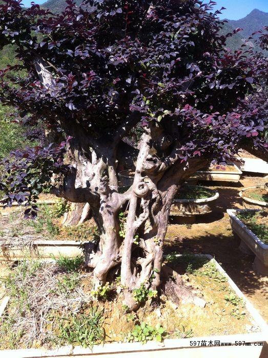 红花继木盆景价格|盆景|花卉盆景|供应信息|597苗木