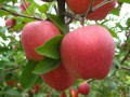 河南苹果树,河南苹果树苗