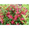 红王子锦带、红叶石楠、金叶莸