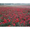 红帽月季、八仙花、法国冬青