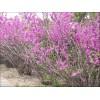 紫荆、紫薇、广玉兰、白玉兰、日本海棠