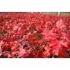泡桐、火炬、红枫 连翘